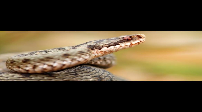 CONSEIL : La morsure de serpent